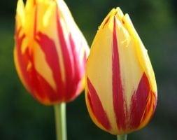 triumph tulip bulbs