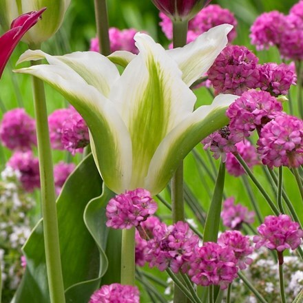 Tulipa Greenstar