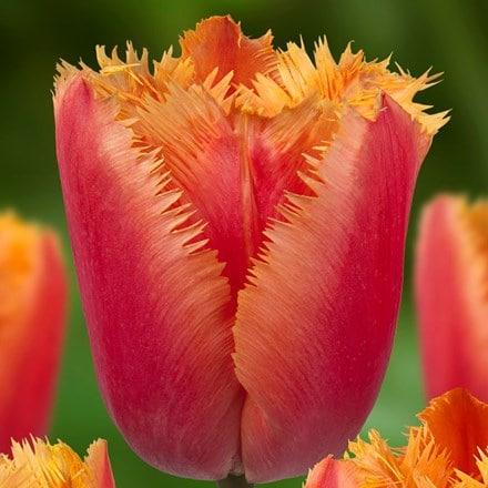 Tulipa Lambada