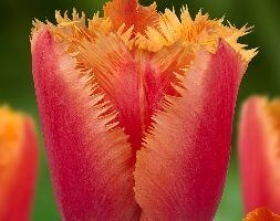 fringed tulip bulbs