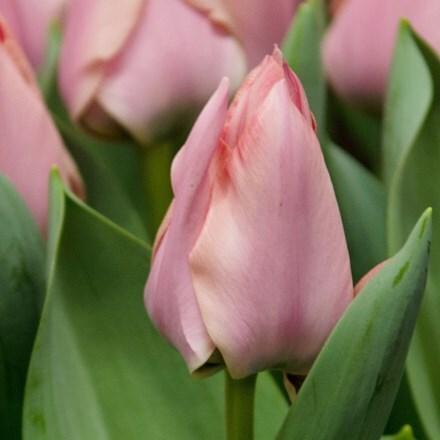 Tulipa Apricona
