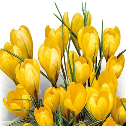 Crocus Yellow - Organic bulbs