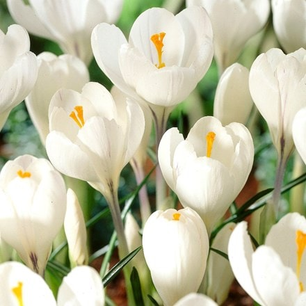 Crocus Jeanne d'Arc - Organic bulbs