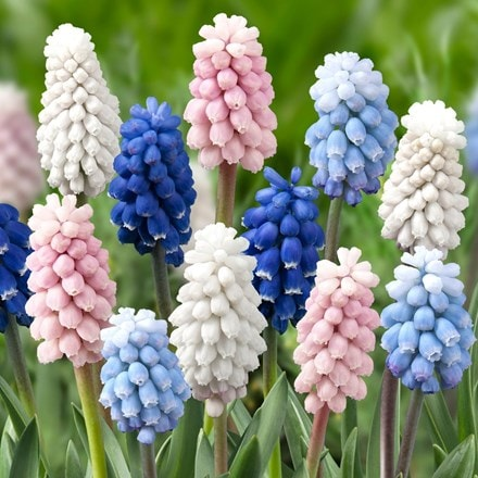Muscari Colour Mixture