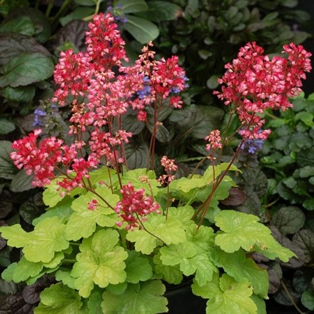 Heuchera Sweet Tart (PBR) (Little Cutie Series)