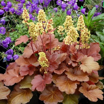 Heuchera Blondie (PBR) (Little Cutie Series)