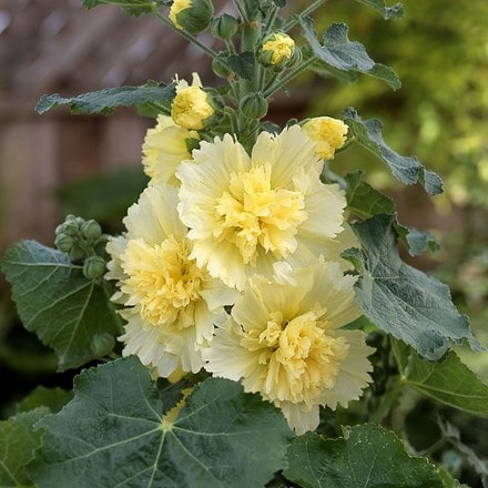 Alcea rosea Spring Celebrites Lemon (Spring Celebrities Series)