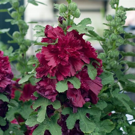 Alcea rosea Spring Celebrites Crimson (Spring Celebrities Series)