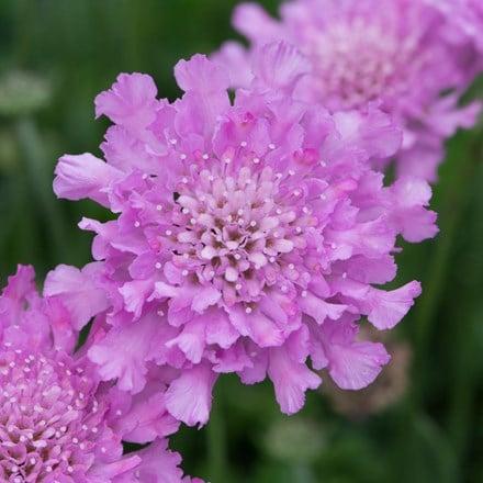 Scabiosa Flutter Rose Pink ('Balfluttropi') (PBR)