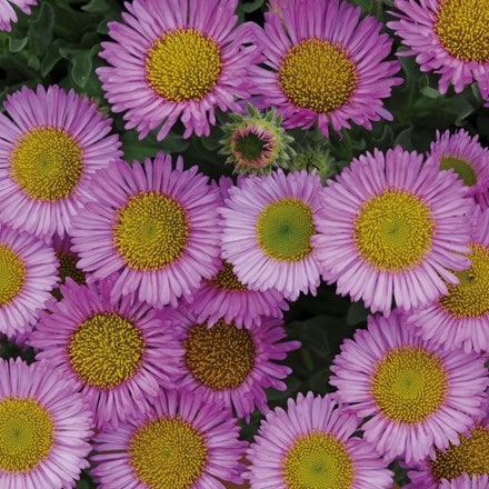 Erigeron glaucus 'Sea Breeze' pink-flowered