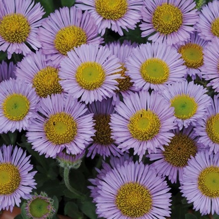 Erigeron glaucus Sea Breeze mauve-flowered