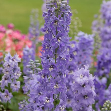 Delphinium Magic Fountains Lavender White Bee