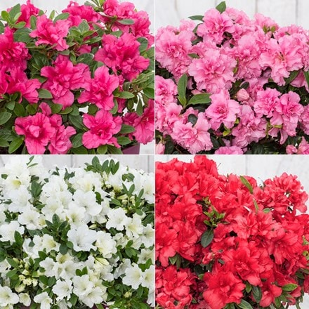 BloomChampion Reblooming Evergreen Azalea Collection