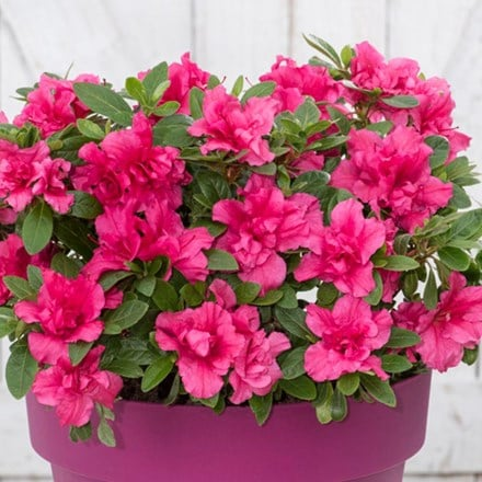 Rhododendron BloomChampion Purple ('') (PBR)