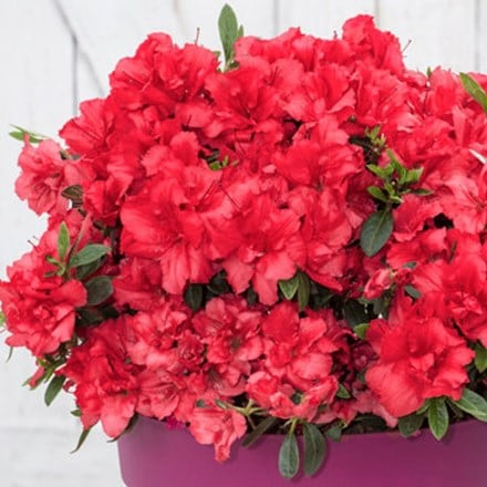 Rhododendron BloomChampion Red ('RLH1-9P7') (PBR)