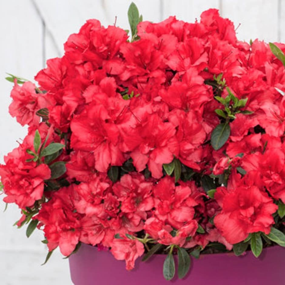 <i>Rhododendron <b class=small-caps>BloomChampion® Red</b> ('RLH1-9P7') (PBR)