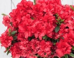 reblooming evergreen azalea Bloom Champion
