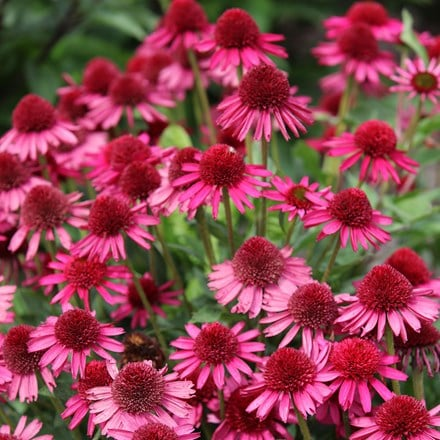 Echinacea Delicious Candy (PBR)