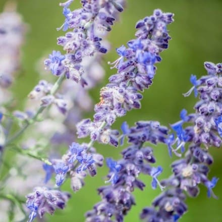 Perovskia atriplicifolia Blue Jean Baby