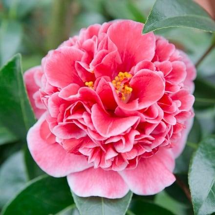 Camellia japonica Volunteer (PBR)