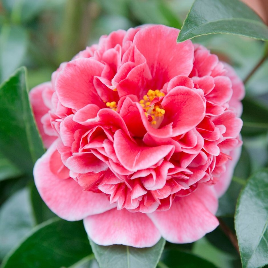 Buy Camellia Camellia Japonica Volunteer Pbr Delivery By
