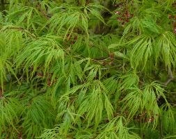 cut-leaved Japanese maple