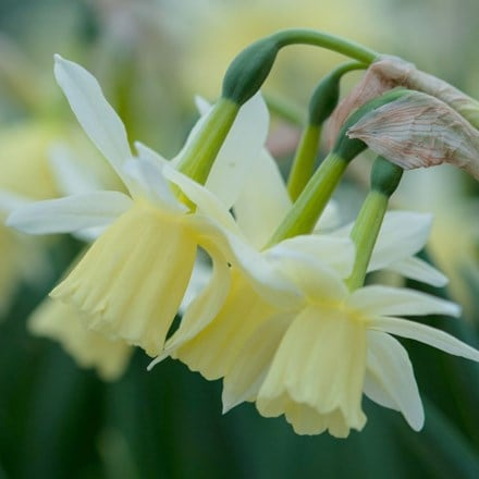 Narcissus Lemon Drops