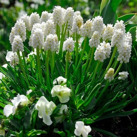 Muscari botryoides Album - Organic bulbs