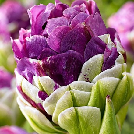 Tulipa Exquisit