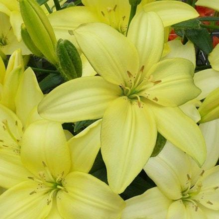 Lilium Easy Vanilla
