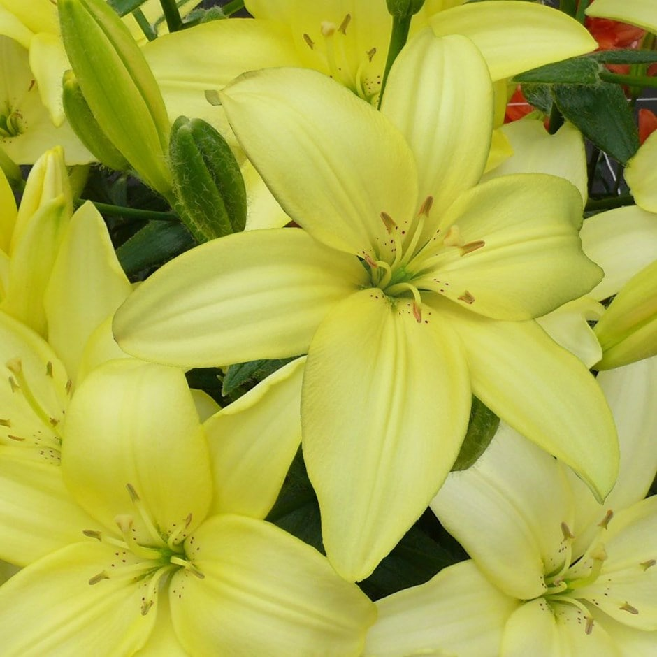 pollen free Asiatic lily bulb