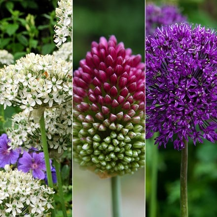 Stunning Allium collection