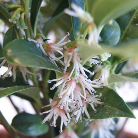 Sarcococca humilis Fragrant Mountain (PBR)