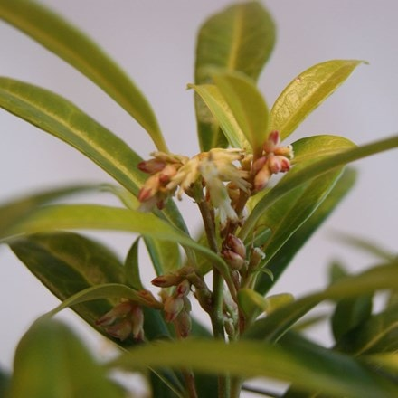Sarcococca humilis Fragrant Valley (PBR)