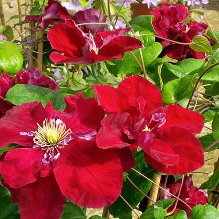 Clematis Charmaine ('Evipo022') (PBR)