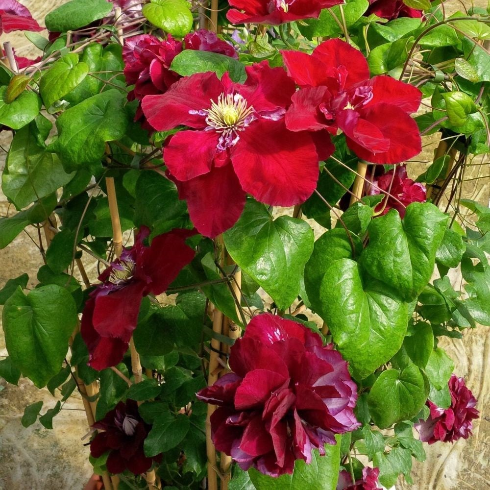 <i>Clematis</i> <b class=small-caps>Charmaine</b> ('Evipo022')</b> (PBR)