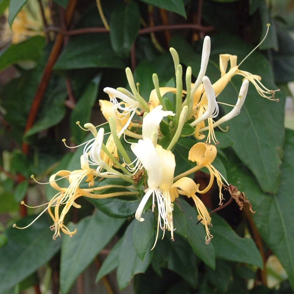 semi-evergreen honeysuckle