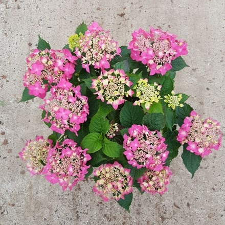Hydrangea Garden Romance