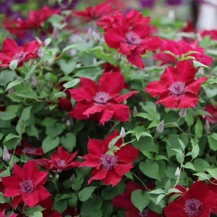Clematis Nubia ('Evipo079') (PBR) (Boulevard Series)