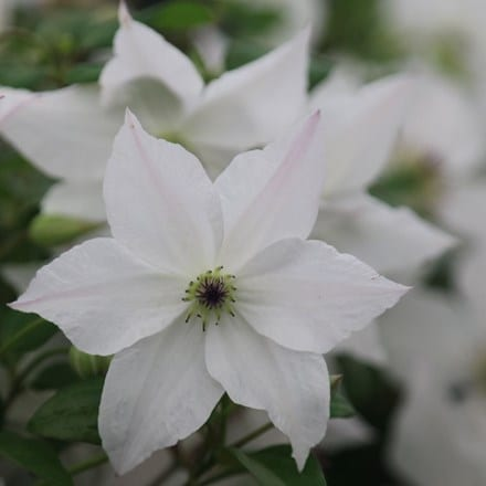 Clematis Forever Friends ('Zofofri') (PBR)