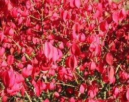 winged spindle / fire bush