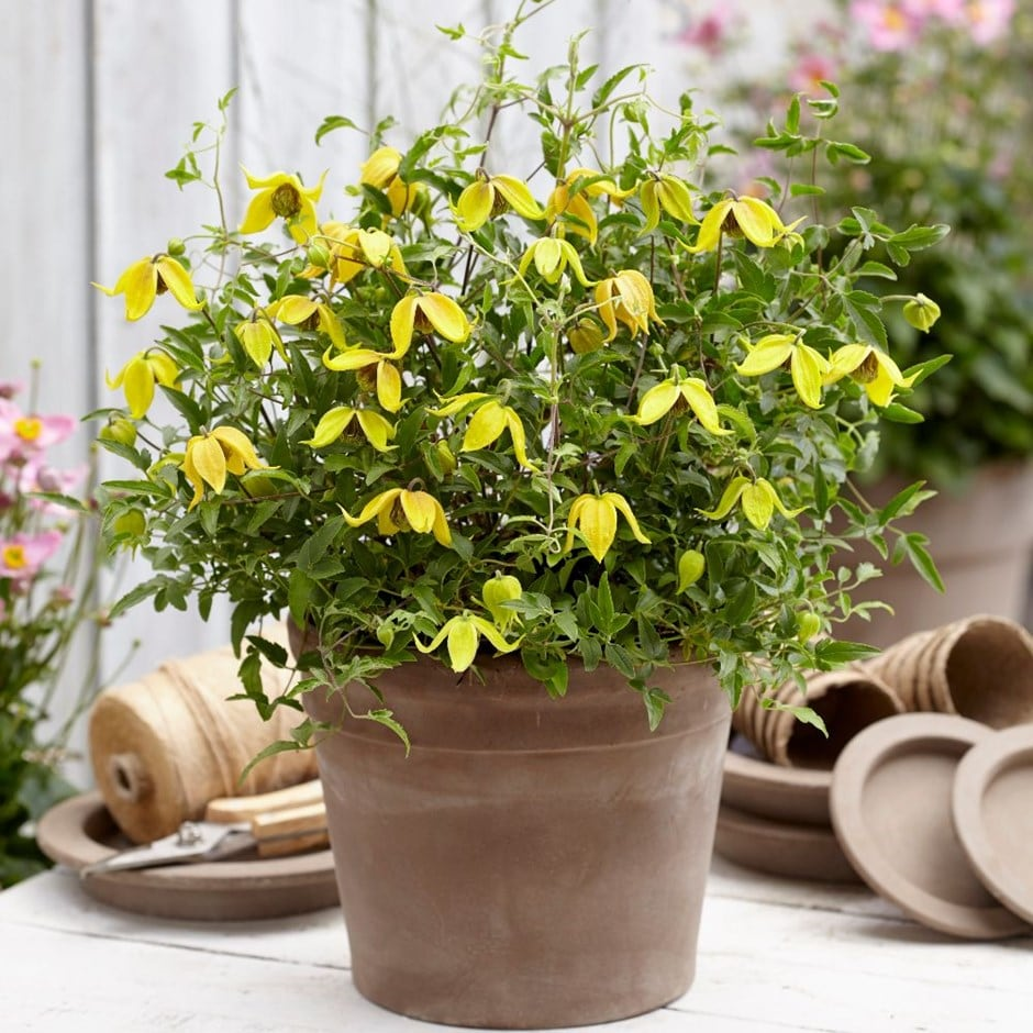 Buy Clematis (group 3) Clematis Little Lemons ('Zo14100