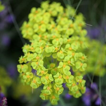 Euphorbia seguieriana subs. niciciana