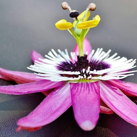 Passiflora caerulea Rubra