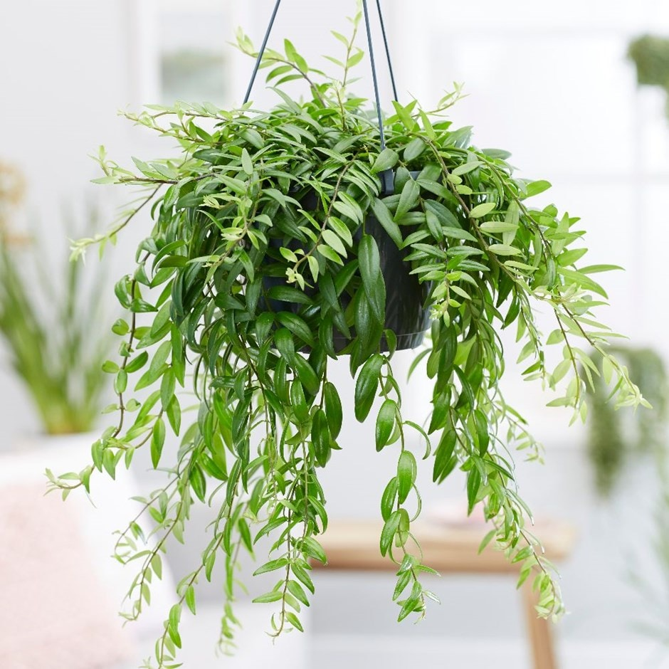 Buy Lipstick Plant Aeschynanthus Japhrolepis Delivery By Waitrose