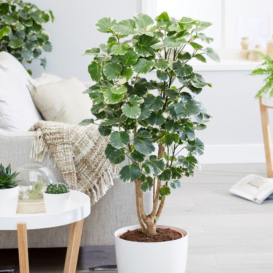 Buy Balfour Aralia Polyscias Scutellaria Balfourii 163 79 99