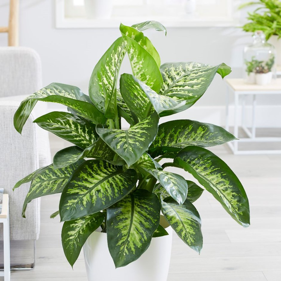 Picture of Live Dumb Cane 'Tropic Snow' aka Dieffenbachia Tropic Snow Foliage Plant Fit 5GAL Pot