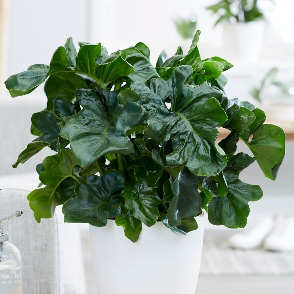 Buy Philodendron Philodendron Selloum Atom 163 24 99