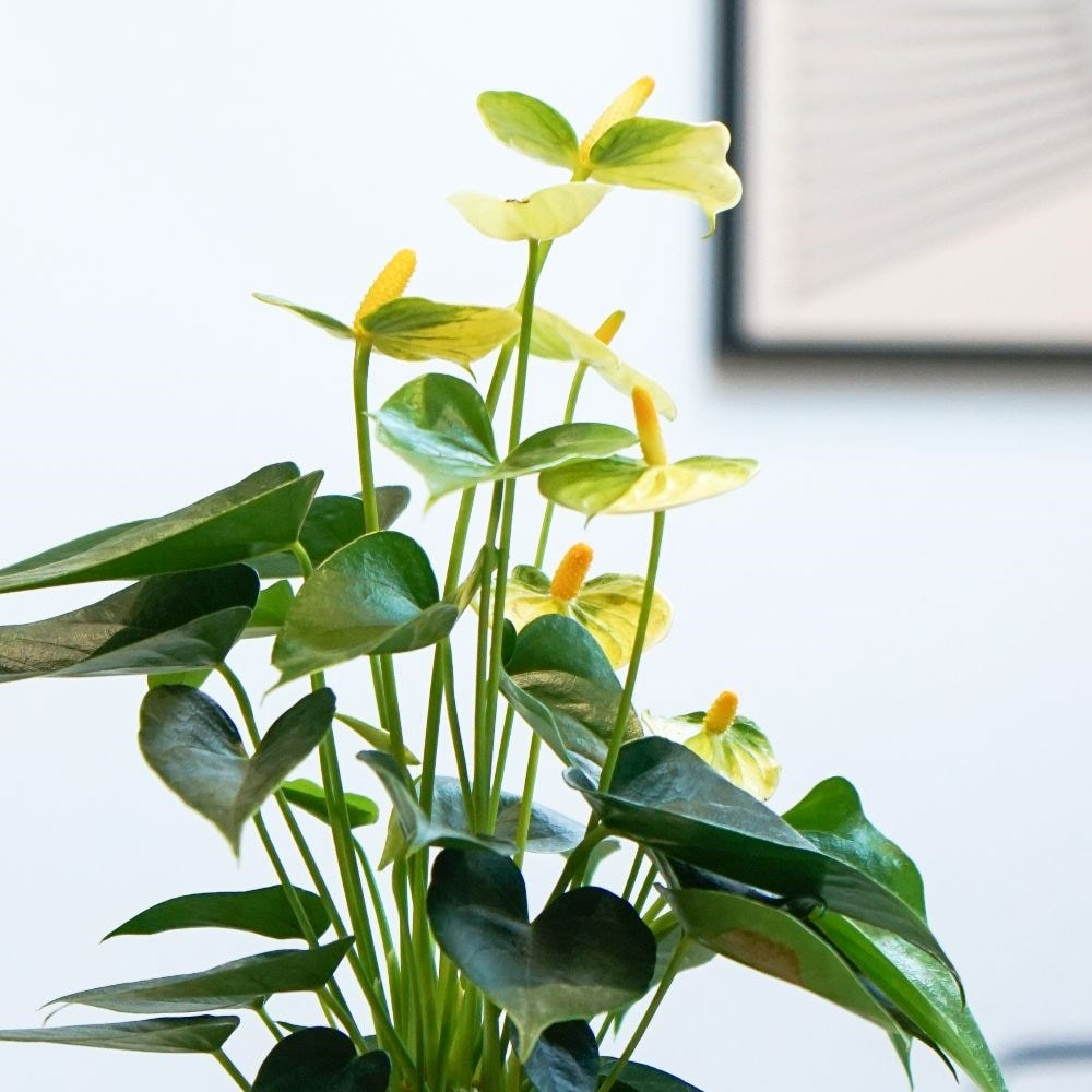 <i>Anthurium</i> <b class=small-caps>Vanilla Champion</b>