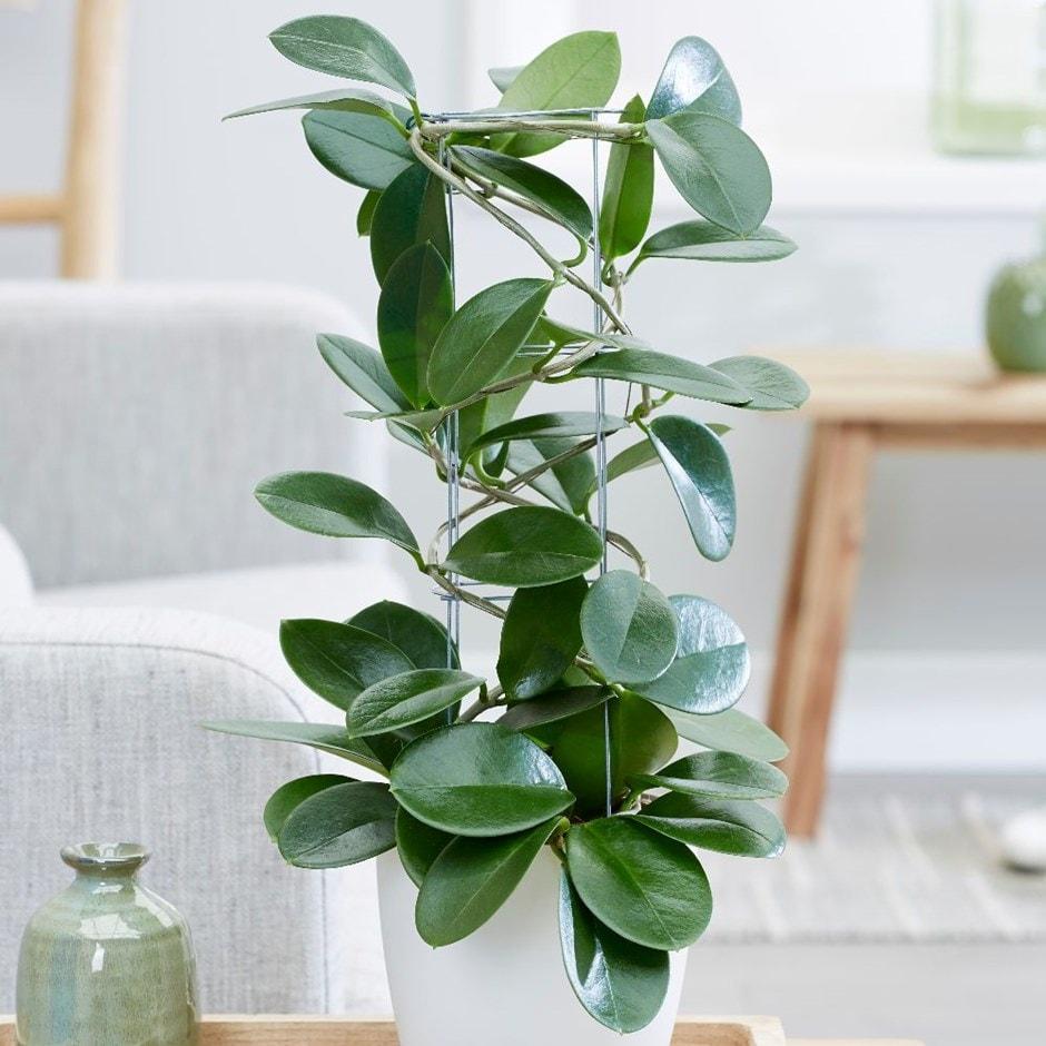 Buy Waxplant Waxflower Hoya Australis 1699 Delivery By Crocus